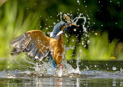 1440 cropped kingfisher AF2T7892
