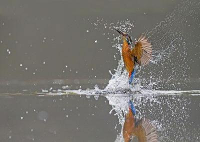 Kingfisher Dive