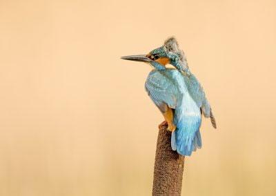Kingfisher ruffled feathers