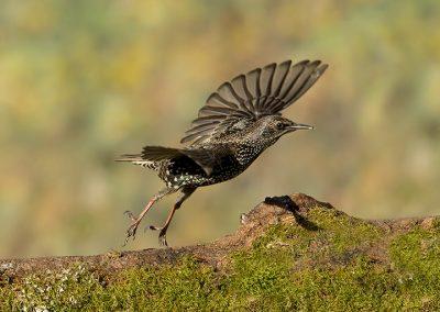 Starling flight