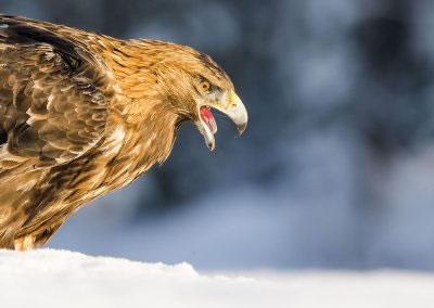 Portrait Golden Eagle