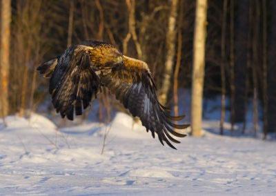 Golden Eagle in flight (2)