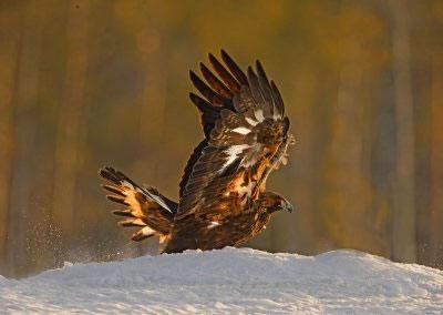 Female Golden Eagle in the setting sun