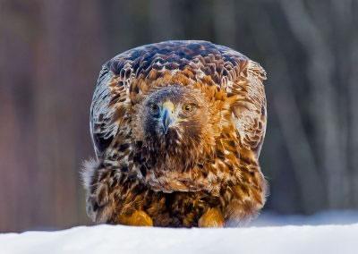 Male Golden Eagle