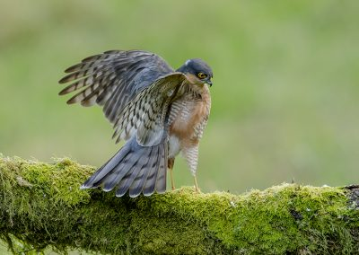Sparrowhawk flap