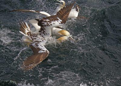 1200 1555 gannets fighting IMG_0223