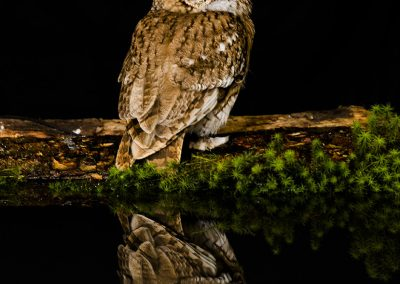 Tawny Owl Reflection 3