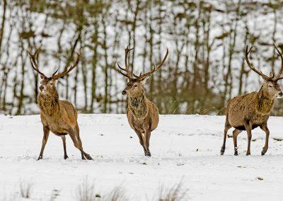 1200 red deer BI4X0153