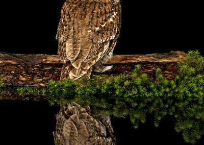Tawny Owl Reflection 2