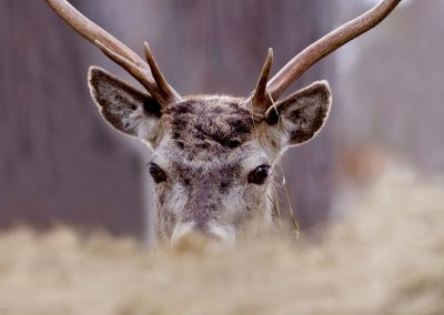 1555 red deer