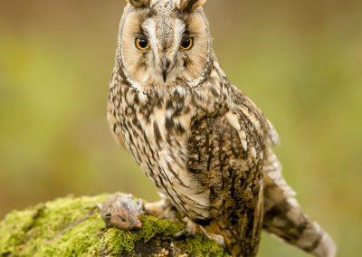 Long-eared Owl 3