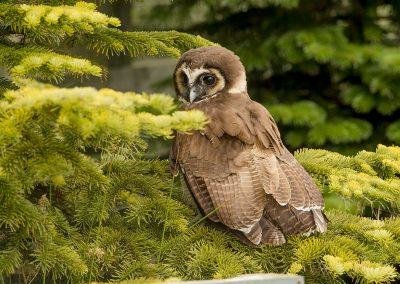 Brown Wood Owl 1