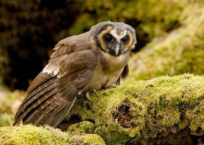 Brown Wood Owl 2
