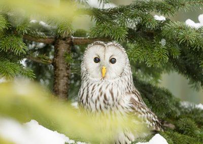 Ural Owl 1