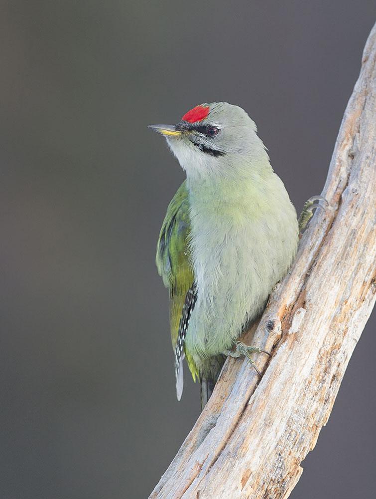 cropped grey headed woodpecker BN3Z7961