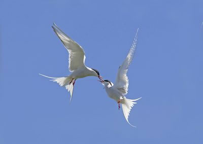 Arctic Terns squabble