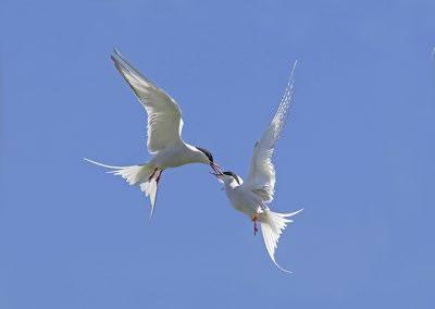 Arctic Terns squabble