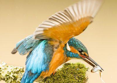 12 1555 kingfisher BI4X6357 copy