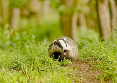 Badger Cub on the move