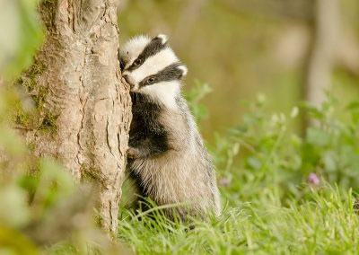 Badger cub chewing on  a tree