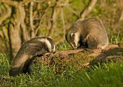Two badgers on the log