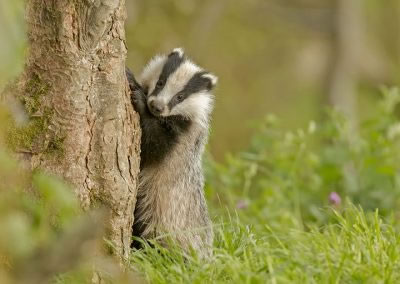 Badger cub looking cute