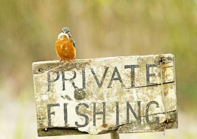 Kingfisher Illegal Activity
