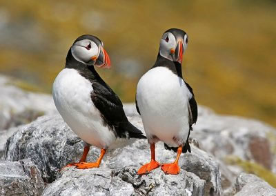 Sociable puffins