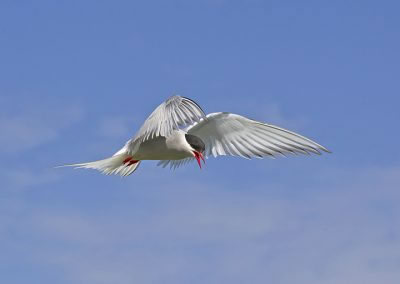 Arctic Tern hanging in the wind