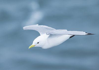 Kittiwake in flight