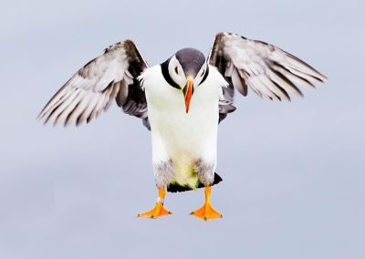 Puffin hanging in the wind