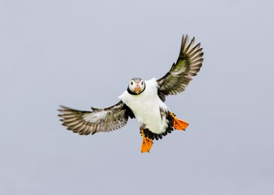 Puffin coming in to land