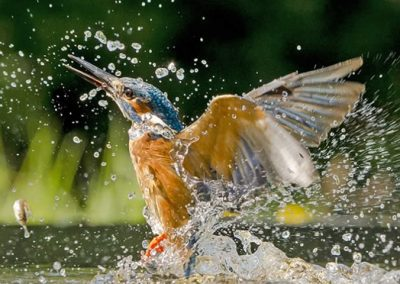 Kingfisher Unsuccessful dive