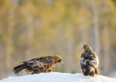 Golden Eagle male and female