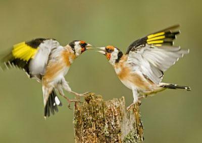 Goldfinch squabble