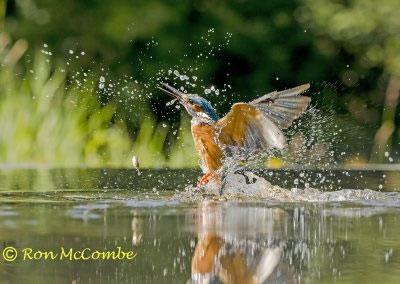 1200 6 1440 kingfisher AF2T7903