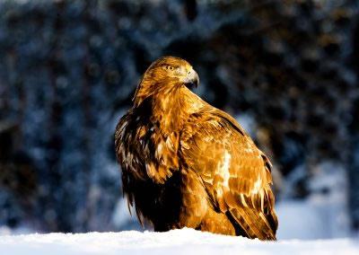 Golden Eagle Portrait 3