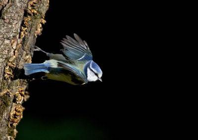 Blue Tit flight