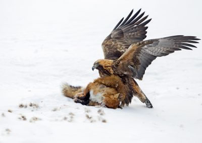 Golden Eagle eating a red fox