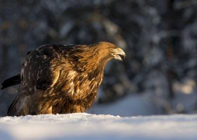 Golden Eagle Portrait 4