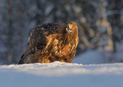 Golden Eagle Portrait 5
