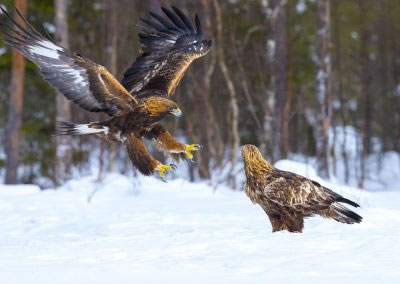 Golden Eagle male and female 2