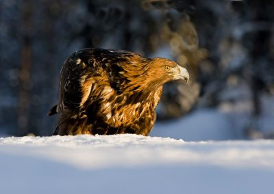 Golden Eagle Portrait 2