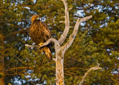 Golden Eagle perching