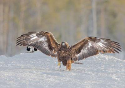 Golden Eagle taking a walk