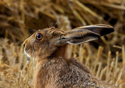 720 1440 head of brown hare IMG_2196 copy