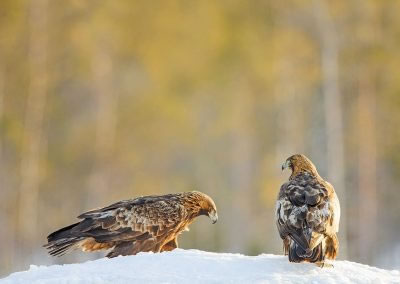 Male and female Golden Eagle