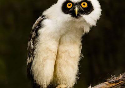 specticled-owl-AF2T9560
