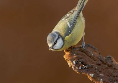 woodlandbirds2628