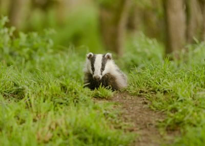 Badger  cub foraging